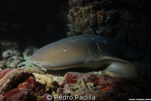 Nurse Shark, Nikon D80 With 18-55mm. Shoot f/10 at 1/60 s... by Pedro Padilla 